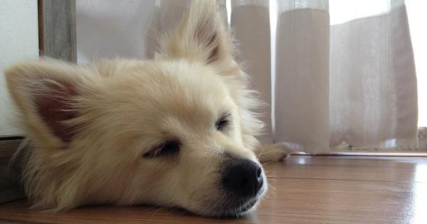 Tigor, calmo e descansando após passar pela consulta comportamental.