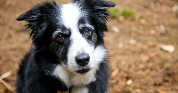cao_da_raca_border_collie_matilhando